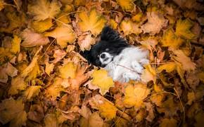Картинка осень, природа, поза, листва, собака, лежит, мордашка, собачка, ворох листьев, папийон, папильон