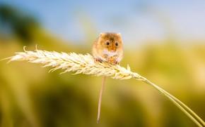 Картинка фон, мышка, колосок, грызун, мышь-малютка