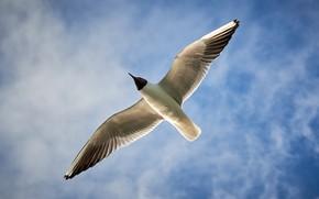 Картинка птица, крылья, чайка, чайка в небе