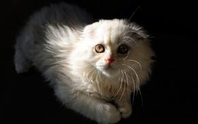 Картинка кошка, взгляд, свет, темный фон, котенок, вислоухий, лежит, котёнок, мордашка