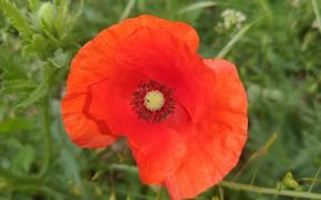 Картинка цветок, макро, мак, Meduzanol ©