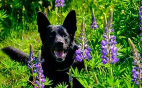 Картинка морда, цветы, собака, овчарка, люпины