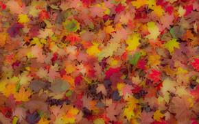 Картинка осень, листья, ковер, клен