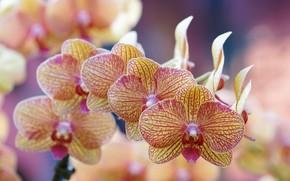 Картинка макро, веточка, орхидея, цветки, боке, Фаленопсис