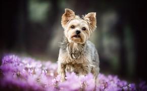 Картинка лес, природа, фон, поляна, собака, весна, малыш, крокусы, щенок, сиреневые, боке, йоркширский терьер