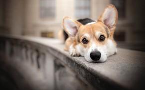 Картинка взгляд, собака, мордашка, парапет, боке, пёсик, Вельш-корги