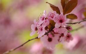 Картинка цветы, ветки, вишня, фон, размытие, весна, сакура, розовые, цветение, боке, слива