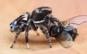 Картинка макро, природа, муха, фон, жертва, пауки, еда, лапки, паук, хищник, насекомое, крылышки, бежевый, добыча, мертвая, …