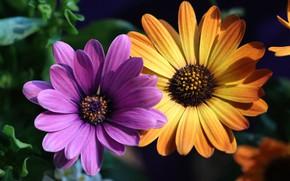 Картинка цветы, желтый, сиреневый, дуэт, два, остеоспермум