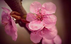Картинка весна, лепестки, сакура