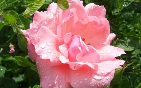 Картинка цветок, макро, роза, Meduzanol ©