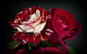 Картинка макро, розы, бордовый, пестрый
