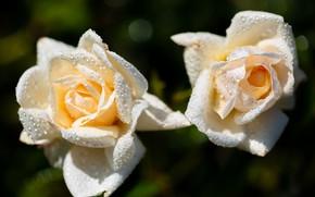 Картинка капли, темный фон, две, розы, белые, дуэт, боке