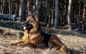 Картинка собака, немецкая овчарка, овчарка, длинношерстная, норвегия де заубер хоф