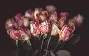 Картинка цветы, темный фон, розы, букет, розовые, бутоны, боке, размытый фон, полосатые, бело-розовые