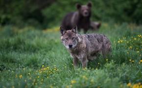 Картинка трава, взгляд, морда, серый, поляна, волк, медведь, боке