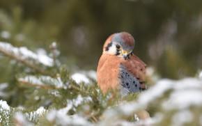 Картинка зима, снег, ветки, птица, сокол, хвоя, боке, пустельга
