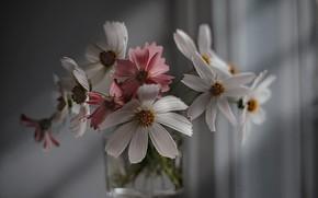 Картинка цветы, стакан, тени, космея
