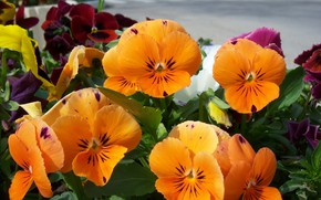 Картинка макро, цветы, рыжие, оранжевые, анютины глазки, Mamala ©