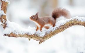 Картинка снег, белка, рыжая, коряга, боке