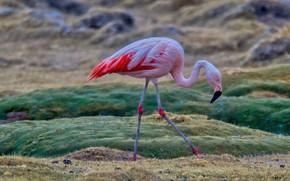 Картинка поле, природа, поза, дождь, птица, фламинго, размытый фон, розовый фламинго