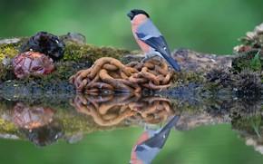 Картинка отражение, птица, цепь, снегирь, водоем, бережок