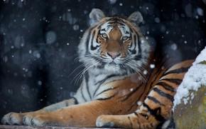 Картинка зима, взгляд, снег, тигр, темный фон, снегопад