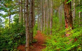 Картинка Зелень, Тропинка, Деревья, Лес, Forest, Trees, Path