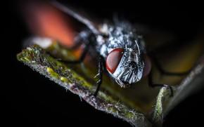 Картинка Макро, Муха, Глаза, Насекомое, Macro, Fly, Insect, Лапы, Close-Up, Egor Kamelev, by Egor Kamelev, Fly …