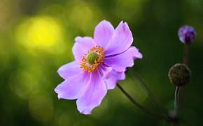 Обои цветок, макро, боке