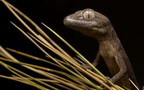 Картинка природа, Congoo gecko, Strophurus congoo