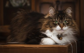 Картинка кошка, кот, взгляд, морда, коробка, лежит, колокольчик, пушистая
