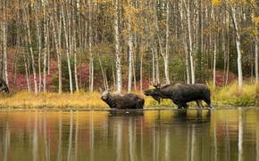 Картинка осень, лес, отражение, берег, пара, два, водоем, лось, лоси, лосиха