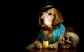 Обои череп, портрет, свеча, собака, шляпа, костюм, черный фон, золотистый, фотосессия, пёс, жилет, ретривер, композиция, нарядный, ...
