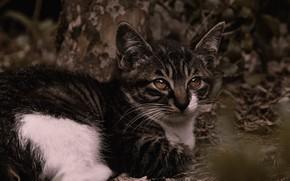 Картинка кошка, взгляд, листья, природа, поза, темный фон, котенок, лежит, мордашка, боке, пятнистый