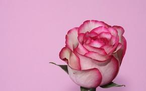 Картинка роза, лепестки, бутон