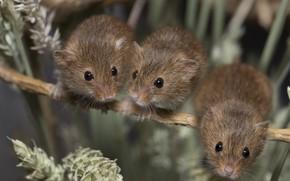 Картинка колоски, трио, мышки, крохи