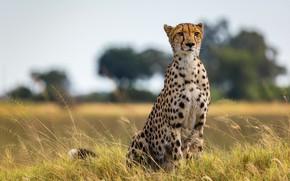 Картинка поле, деревья, природа, гепард, саванна, сидит, дикая кошка