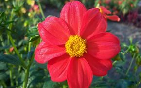 Картинка цветок, макро, роса, георгина, Meduzanol ©
