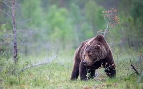 Картинка осень, лес, лето, трава, взгляд, морда, капли, природа, поза, дождь, поляна, медведь, мишка, бурый