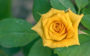 Картинка листья, роза, лепестки, жёлтая