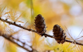Картинка осень, ветки, две, шишка, хвоя, шишки, желтый фон, боке, сосновые