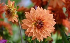 Картинка макро, цветение, георгины