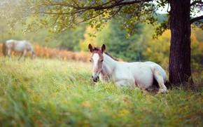 Картинка белый, трава, ветки, природа, дерево, конь, отдых, поляна, листва, лошадь, пастбище, луг, лежит, лужайка, молодой, …