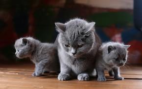 Картинка кошка, взгляд, кошки, котенок, фон, доски, котята, три, котёнок, малыши, серые, трио, мама, мазки, два ...