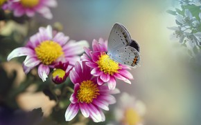 Картинка макро, цветы, природа, коллаж, бабочка, насекомое, хризантемы