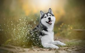 Обои цветы, собака, боке, Хаски