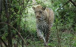 Картинка лес, природа, леопард, большая кошка