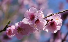 Картинка макро, цветы, вишня, ветка, весна, сакура, розовые, цветение
