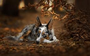 Картинка осень, лес, взгляд, морда, листья, ветки, природа, поза, парк, фон, листва, куст, портрет, собака, лежит, …